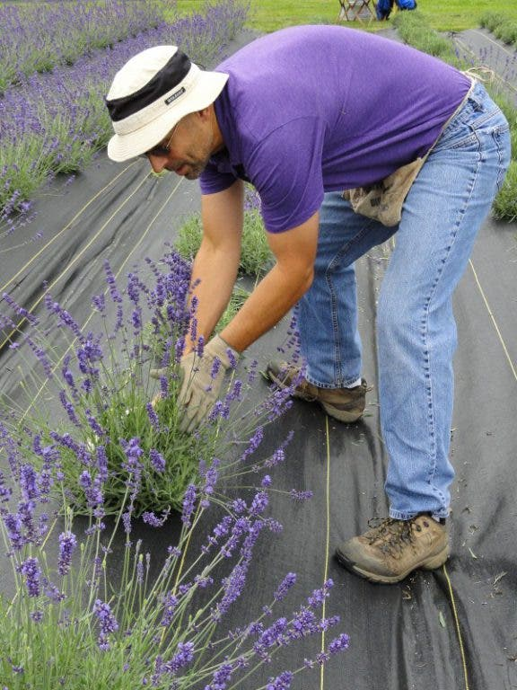 Business is Blooming at Local Lavender Farm | Redmond, WA Patch