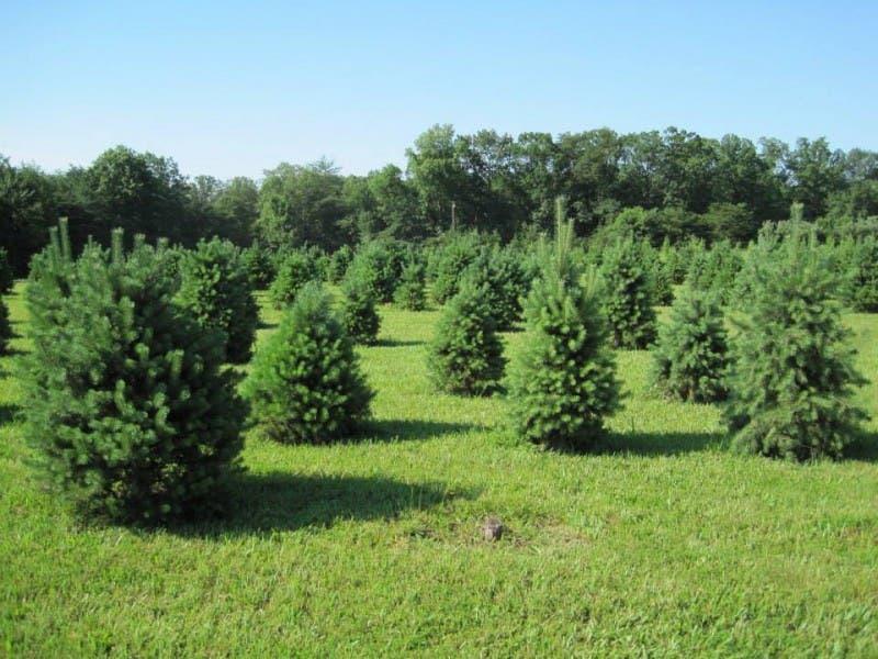 15 cut your own christmas tree farms - Middleburg Christmas Tree Farm