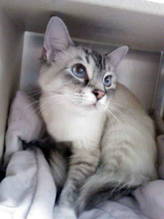 Adopt Sing A Sweet Siamese Cat Burnsville Mn Patch
