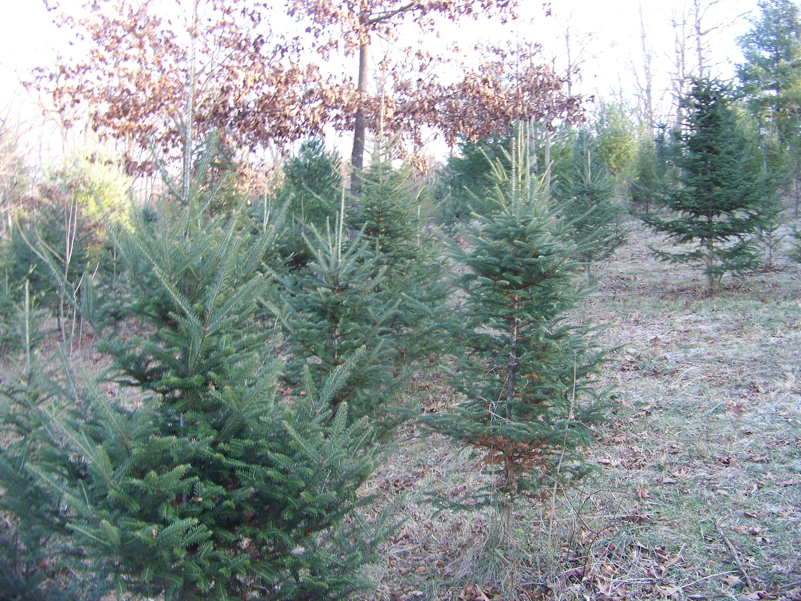 Cut Your Own Christmas Tree.Cut Your Own Christmas Tree In The Lehigh Valley Upper