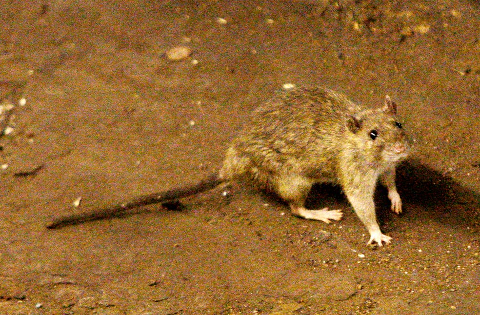 NYC Rodents Are Getting Diabetes From Fast Food, Study Suggests
