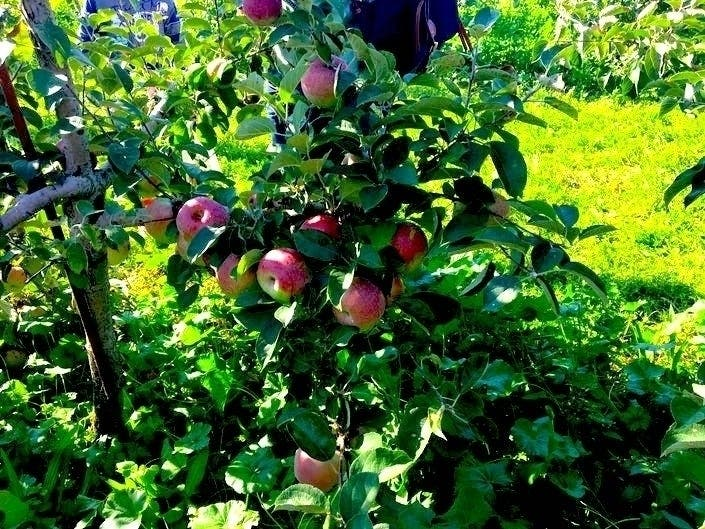 Apple Picking Near NYC: 2019 Guide
