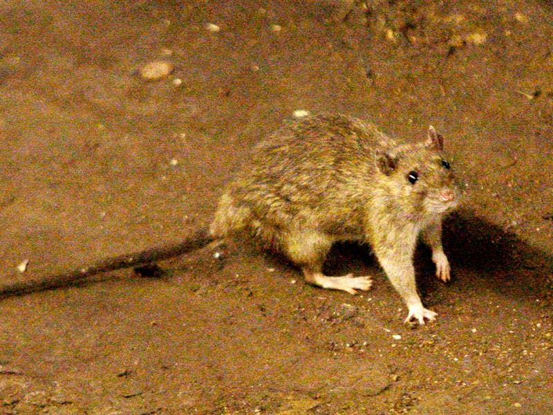 City Aims To Starve Out Rats With New Trash Rules | New York City
