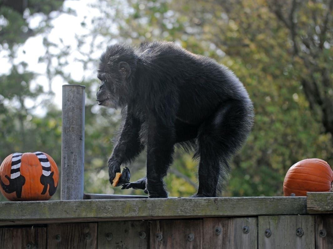 Oldest U.S. Chimp Dies; CA Gun Ban Overturned   NorCal In Brief