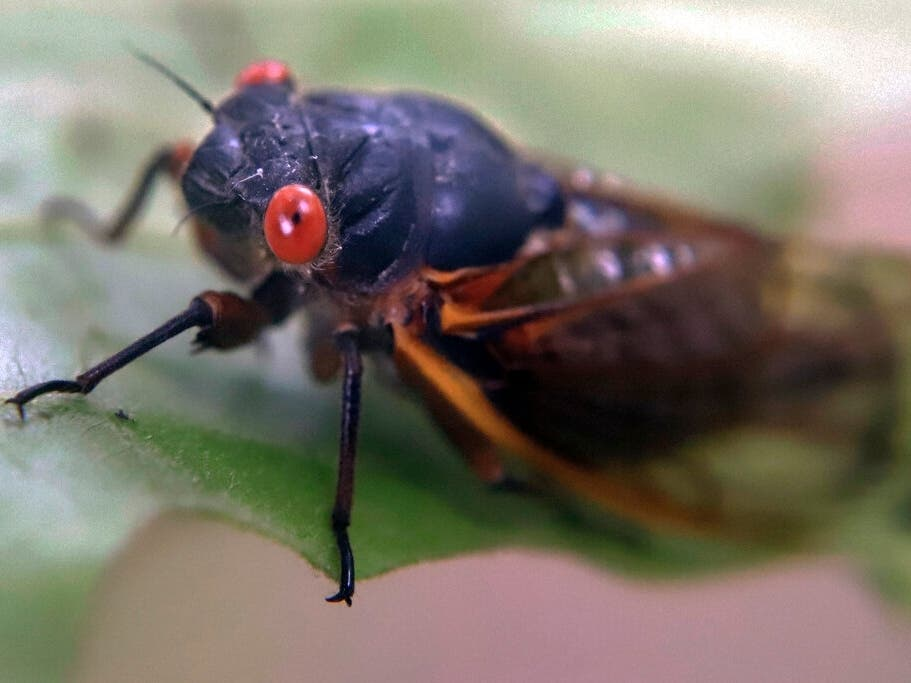 Billions Of 17-Year Cicadas Will Emerge; MD Epicenter In 2021