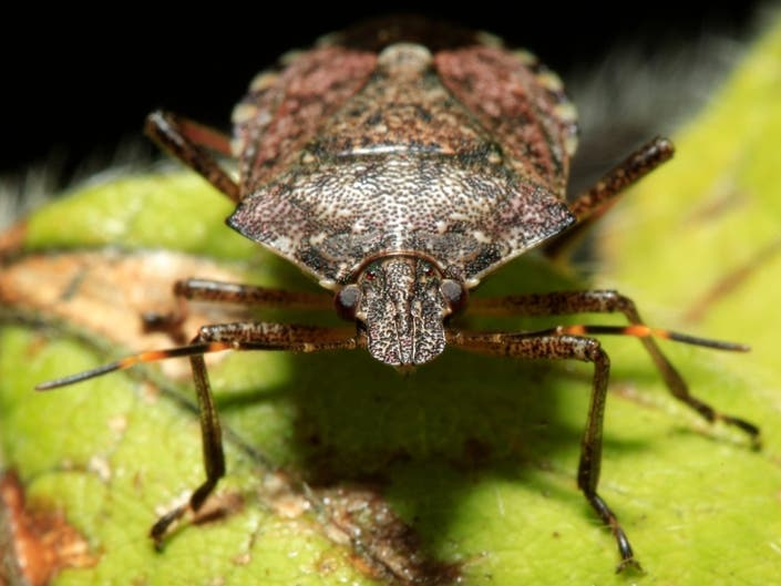 Its Stink Bug Season In Illinois: How To Get Rid Of Them