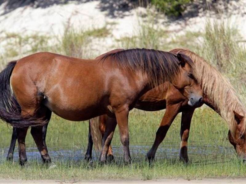 Wild Horses, Ponies Should Weather Hurricane Florence Just
