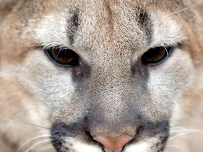 A Mountain Lion In Georgetown? Video Sends Community Into Furor