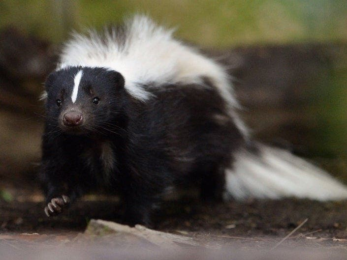 Pioneer Skunk Prowls Prospect Park | Patch PM