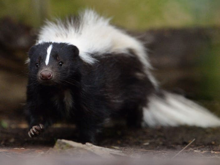 Skunk Spotted In Prospect Park In First Recorded Sighting