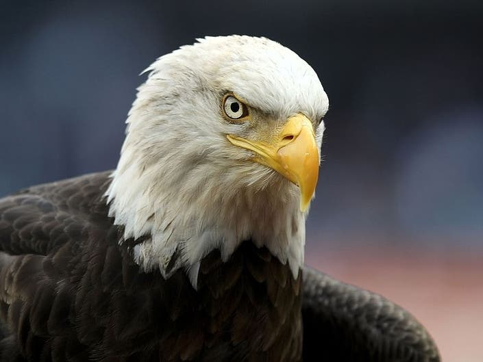 Central Park Raptor Fest Returns With Eagles, Peregrine Falcons