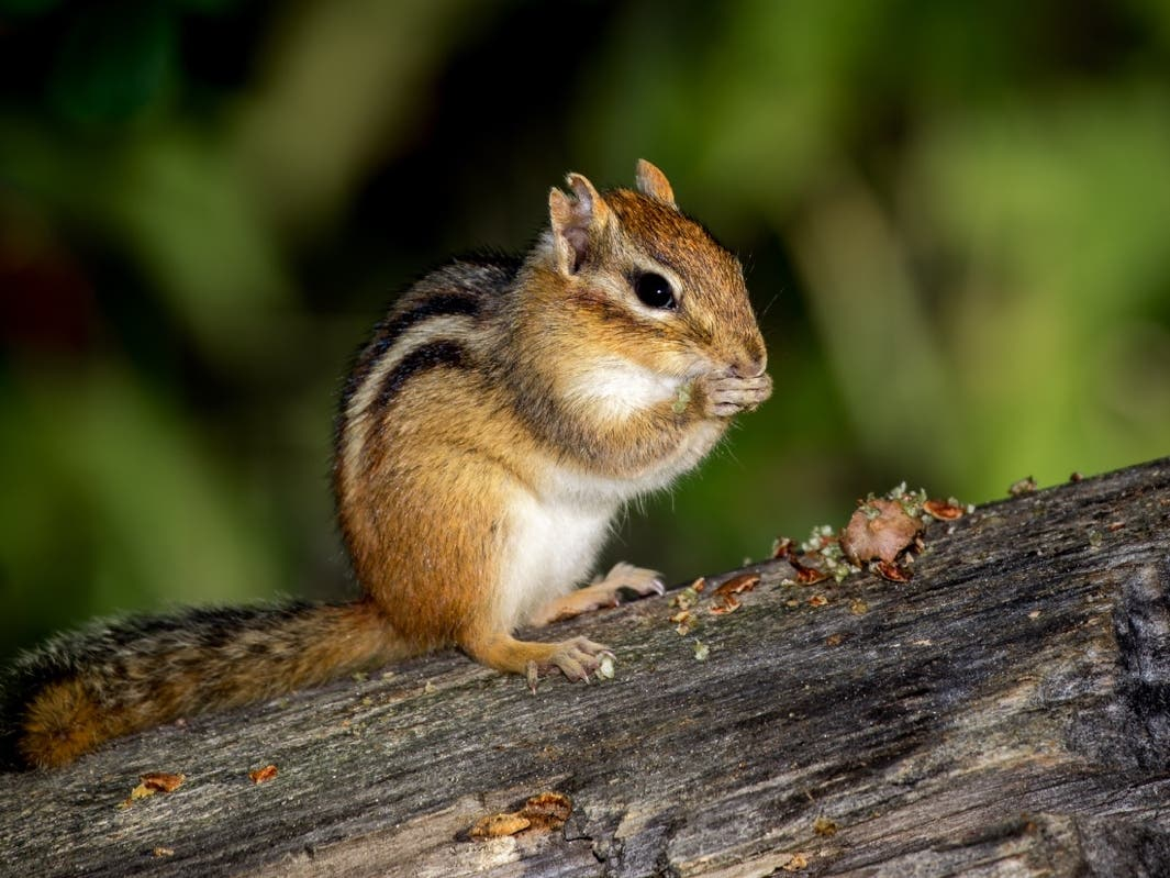 Chipmunks Test Positive for Bubonic Plague on South Shore of Lake Tahoe