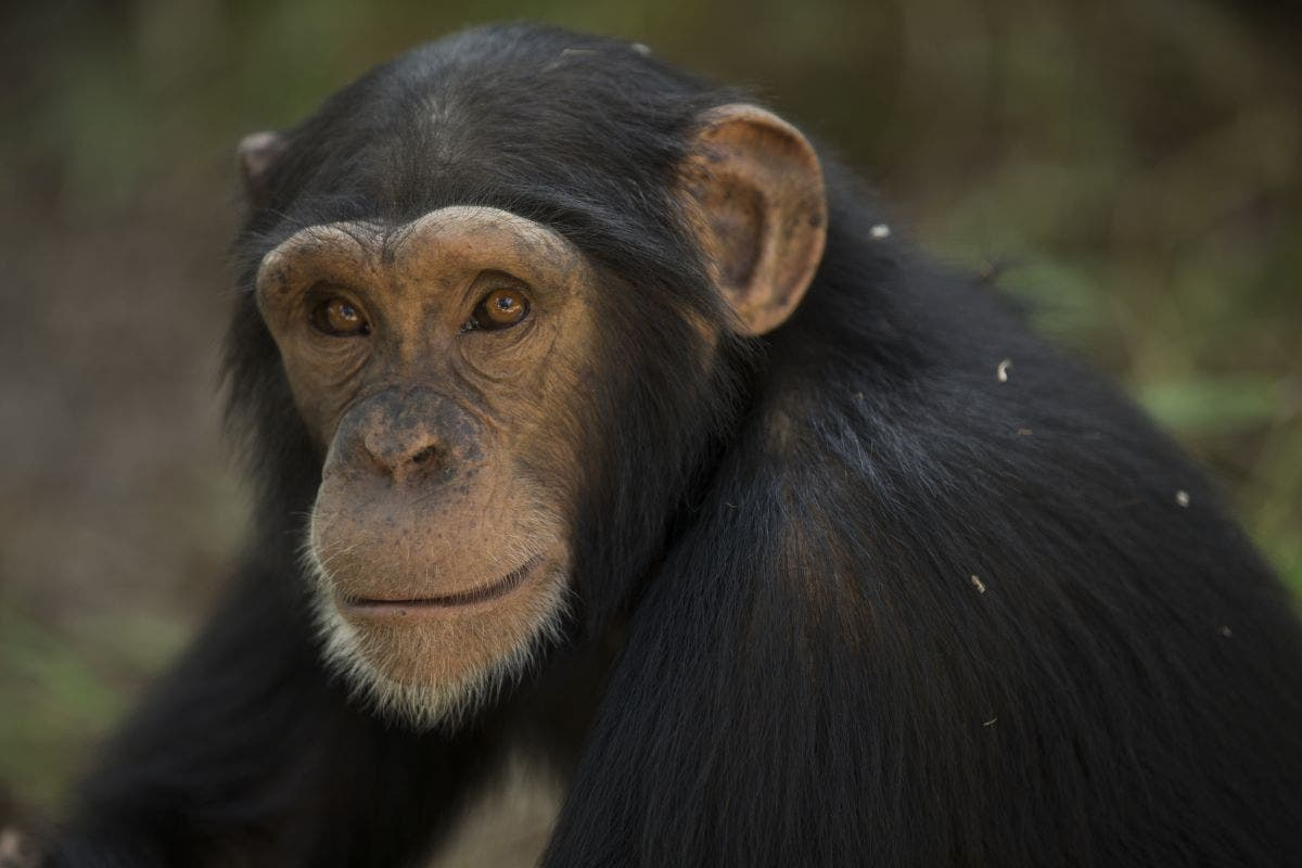 Chimp That Threw Poop At Grandma Is Probably Very Smart Researchers