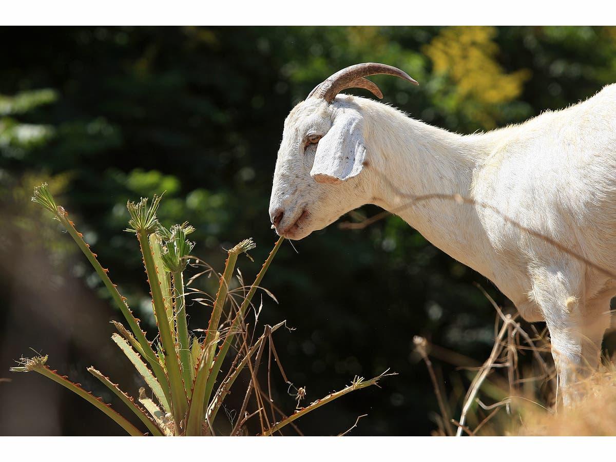 Hungry Michigan Goats Devour Union Jobs: Grievance | Grand Rapids