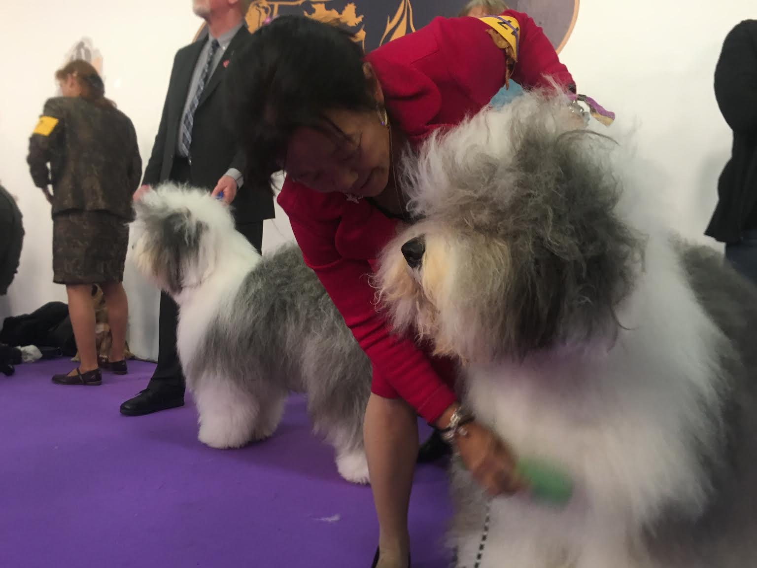 How Did Bart The Old English Sheepdog, Westminster Best-In