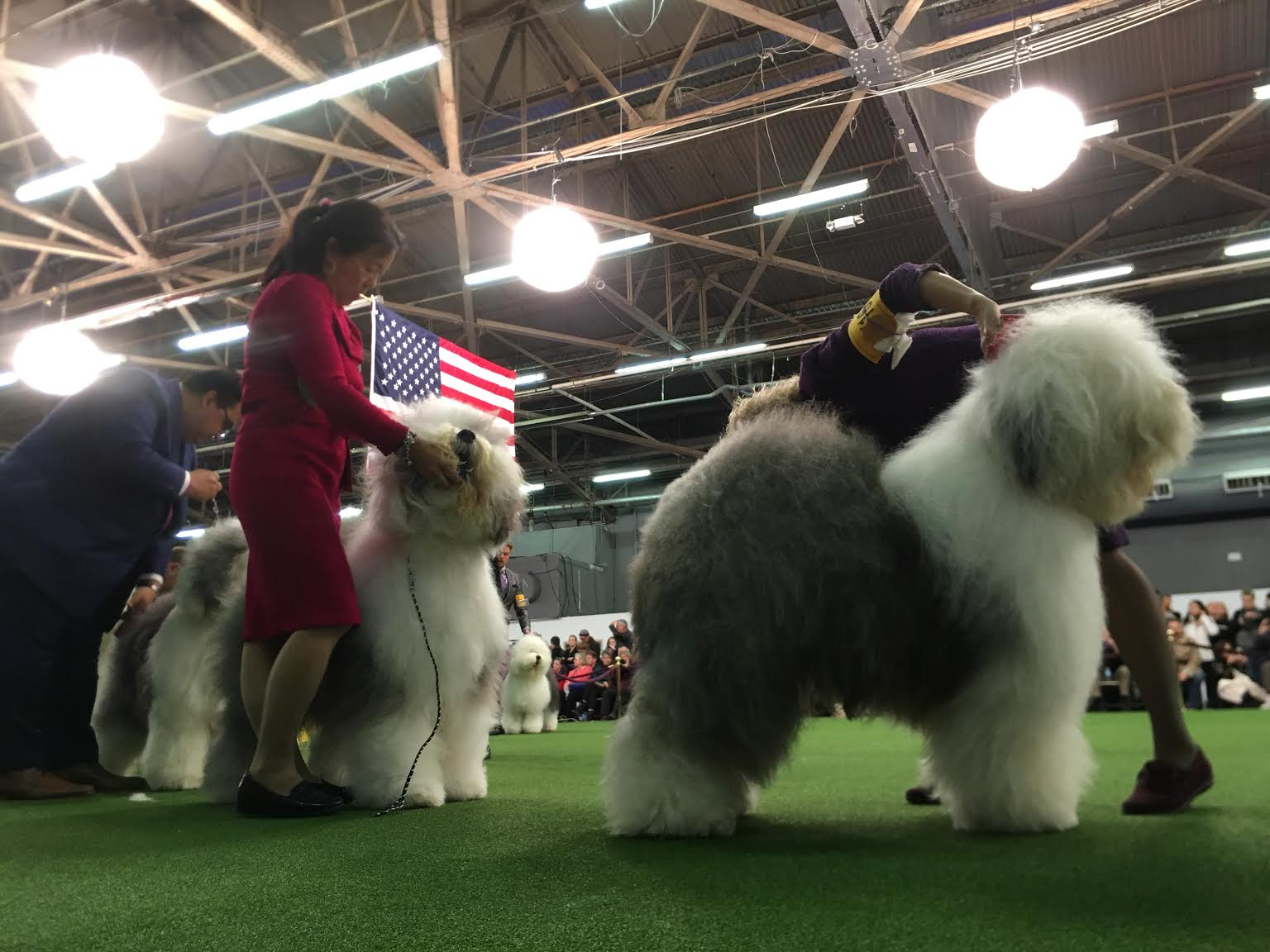 How Did Bart The Old English Sheepdog, Westminster Best-In-Breed
