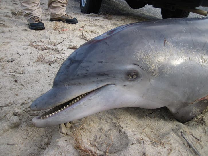 Dead Whale at Island Beach State Park; Dolphin Washed Up