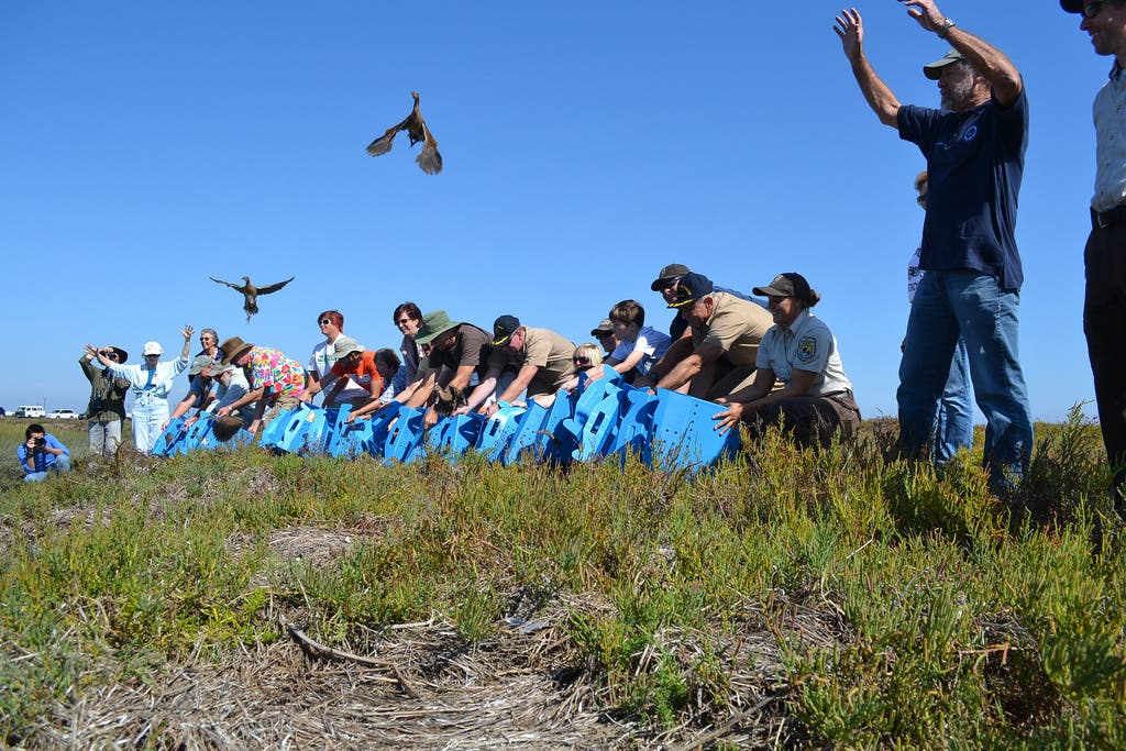 Light Footed Cler Rails Being Release On Seal Beach National Wildlife Refuge