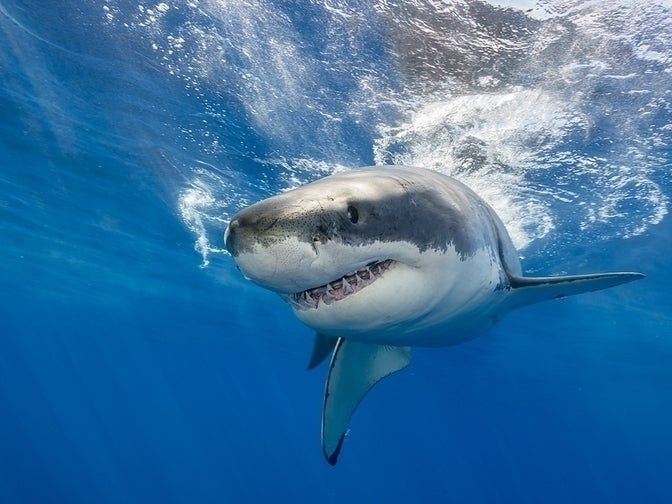 2ba7df4b5d6 More Great White Shark Sightings Off Massachusetts: Patch PM | Patch