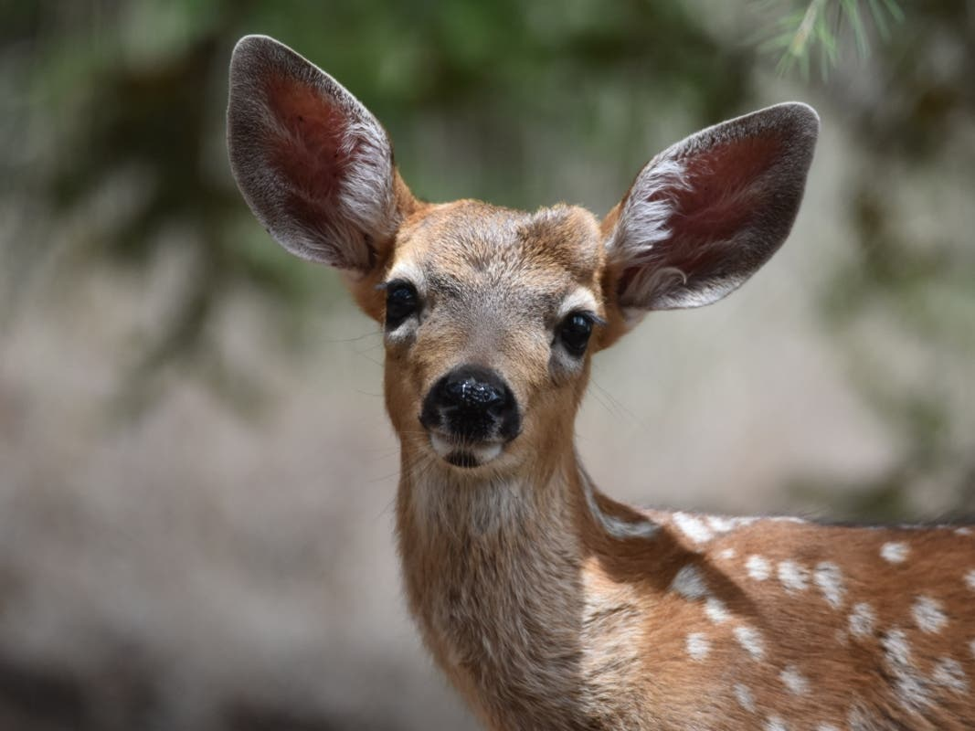 Deadly Virus Outbreak Affecting Deer In Napa County