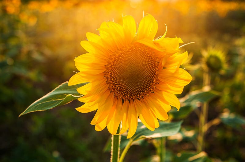 U-Pick Sunflowers & Kids' Fun 2021: Swank Farms, Hollister