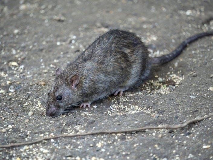 Harlem Tops Manhattan In Rat Complaints, Study Shows