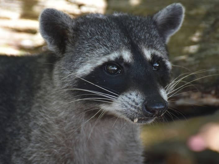 Rabid Raccoon Bites Woman In Cheesequake State Park
