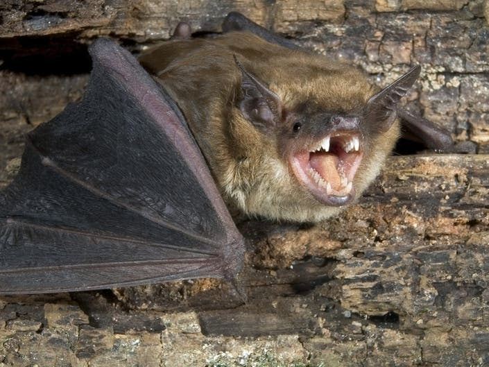 Rabid Bat Found In Milltown Home This Week