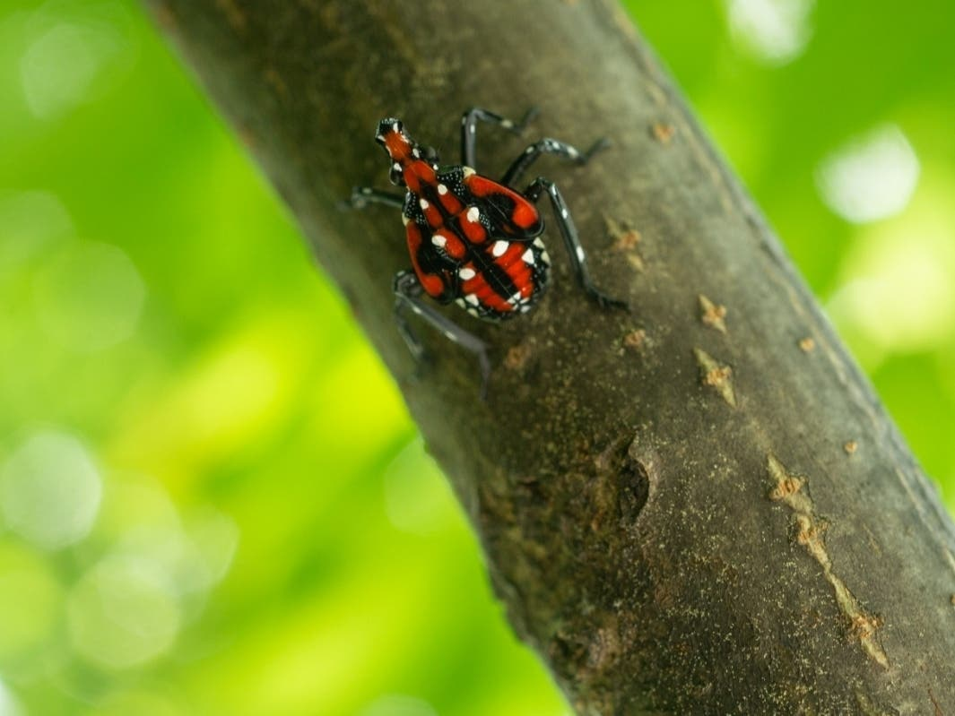 Invasive Spotted Lanternfly Seen In Princeton