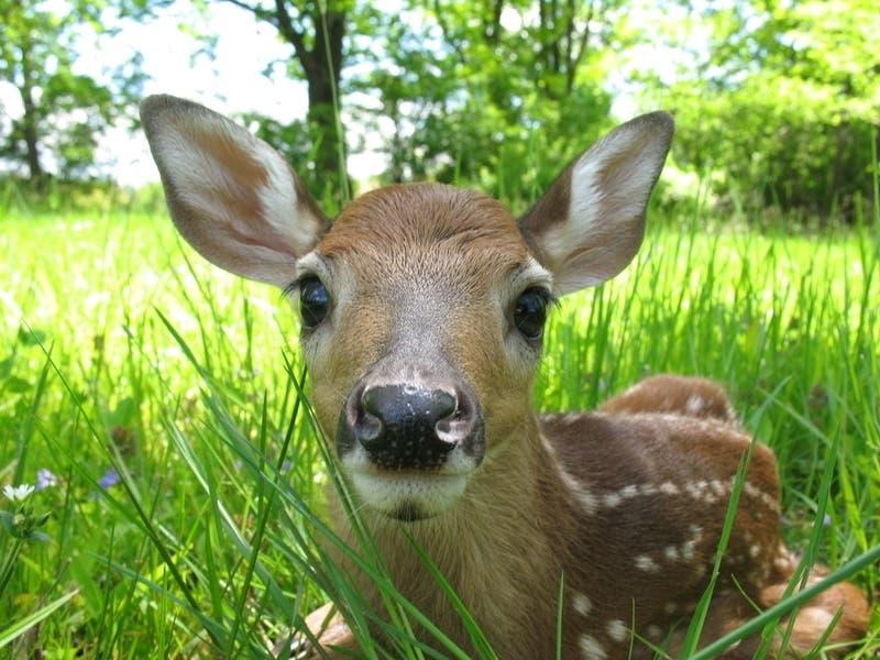 Incurable Deer Disease Found In Bay Area