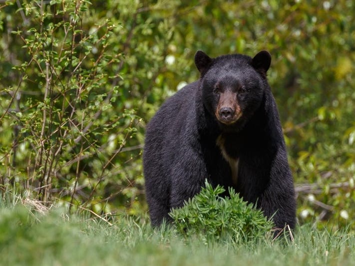 Bear May Have Entered Simsbury Home