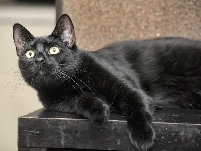 Dallas Animal Shelter Hoping Black Cat On-Field Appearance During Cowboys Game Leads To More Adoptions