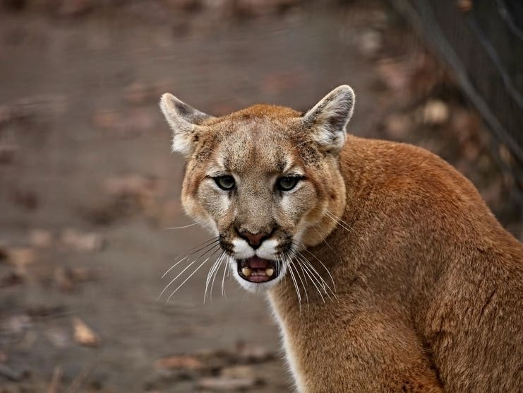 Child Injured By Mountain Lion In Rancho San Antonio Park