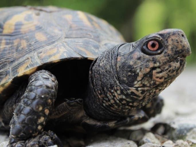 Two Washington Salmonella Cases Linked To Pet Turtles