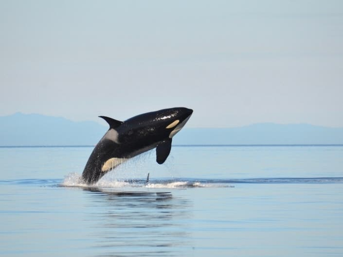 Orca Recovery Day Events In Washington