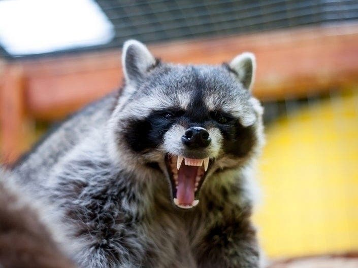 Summit Raccoon Tested Positive For Rabies: Westfield Official