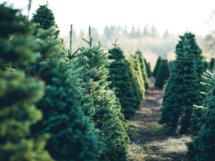 Seattle Christmas Tree Farm Guide For 2020 Seattle Wa Patch