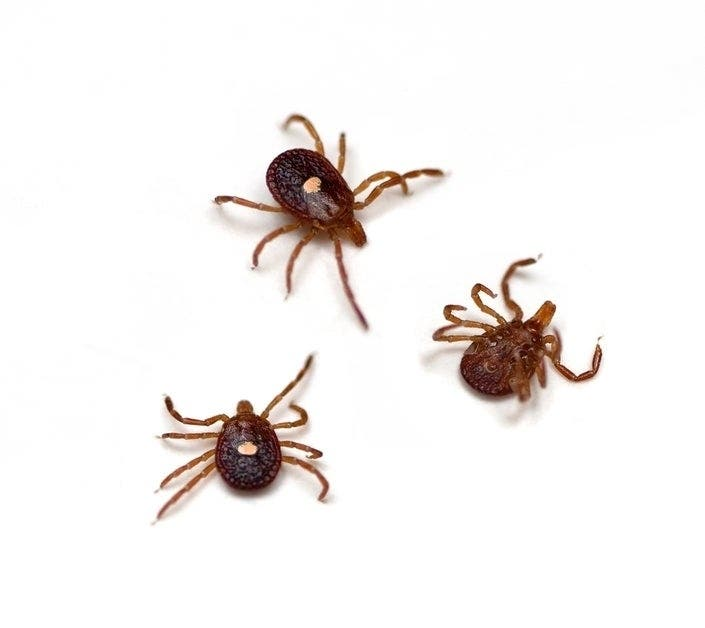 Aggressive Tick Species Is Expanding Its Reach In NJ