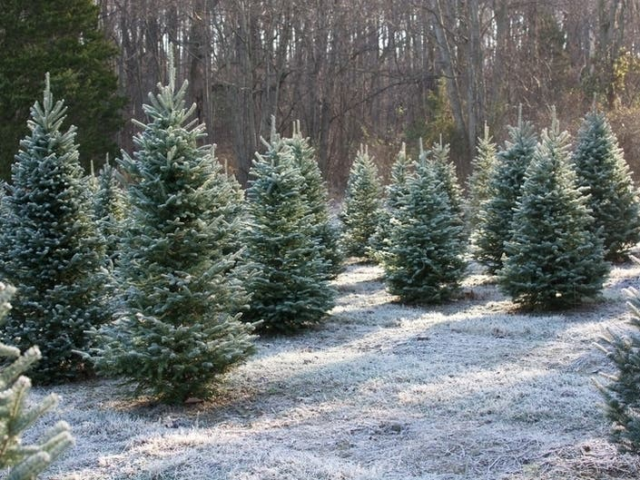 Cut Your Own Christmas Tree Near Cortlandt, Peekskill ...