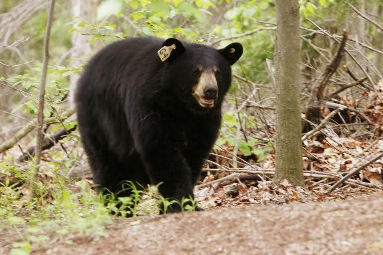 wacky winter weather could bring bears out early in. Black Bedroom Furniture Sets. Home Design Ideas