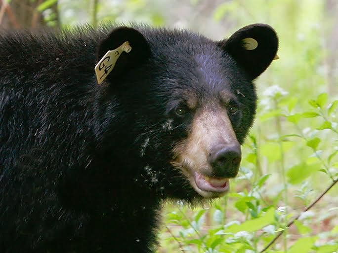 could wacky winter weather bring bears out early in. Black Bedroom Furniture Sets. Home Design Ideas