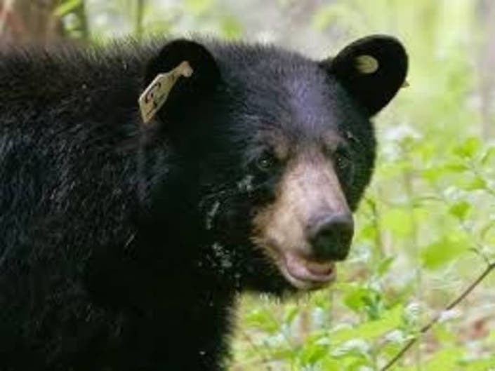 Connecticut Bear Sightings: Town-By-Town Rankings
