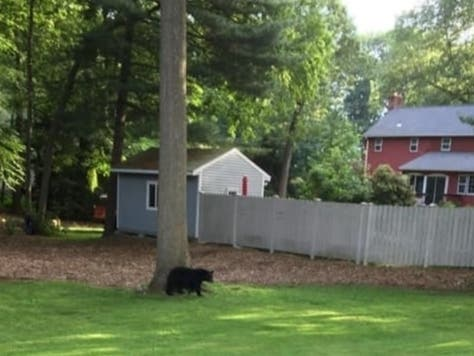 Bear Advisory Issued In Manchester Amid Sightings