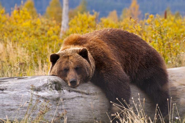 NH Bear Naps In Backyard Of City Home: Report | Nashua, NH Patch