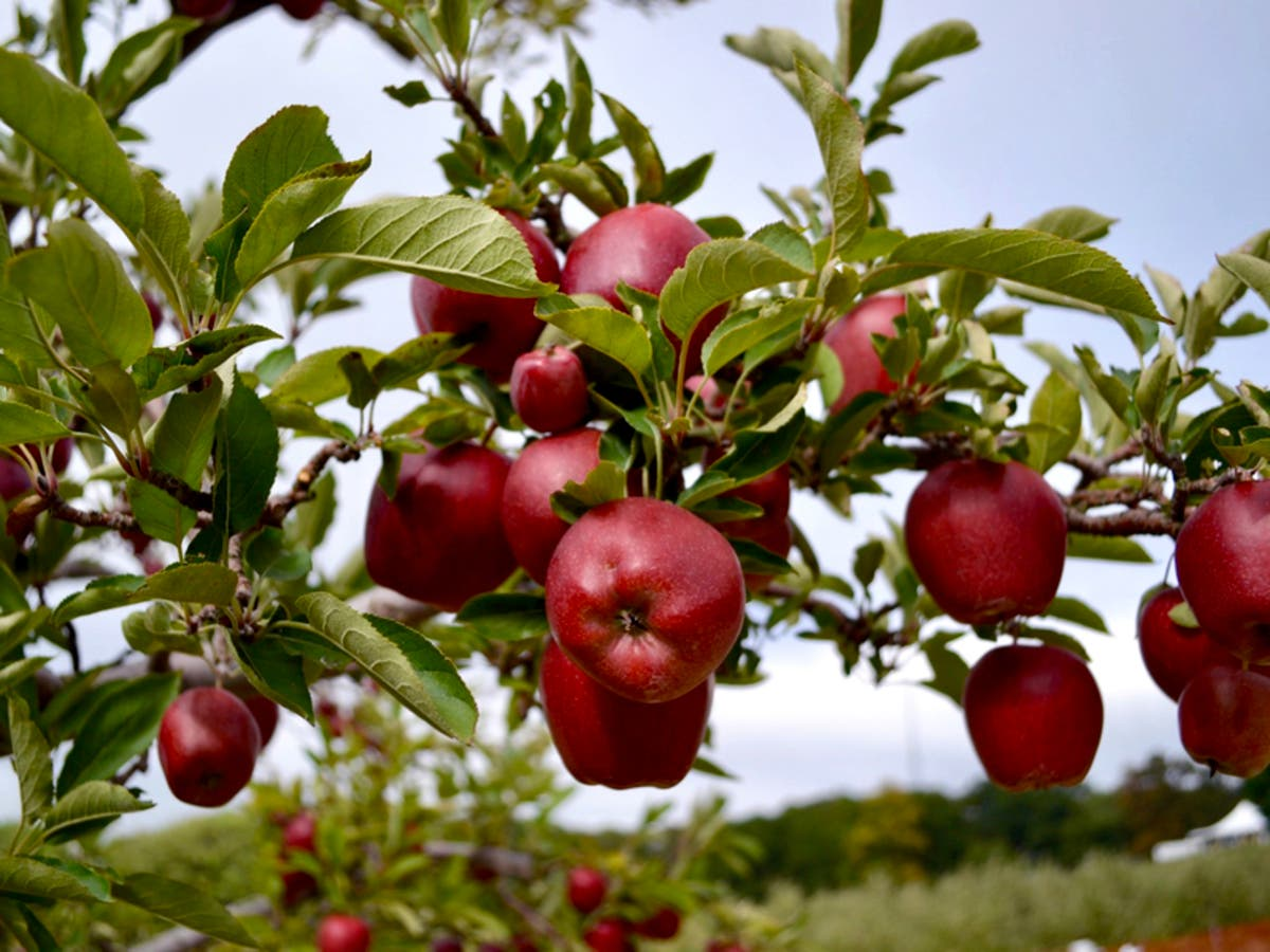 10 Local Nh Apple Orchards Open For Apple Picking