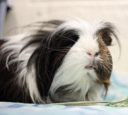 World's Cutest Guinea Pig Up For Adoption At Bucks Co  SPCA