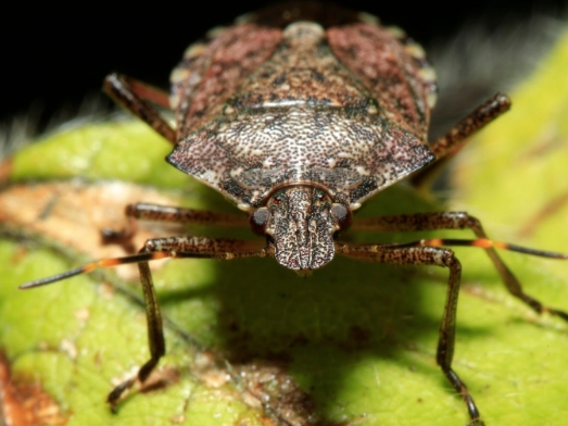 Stink Bugs Are Invading PA Homes: Heres What To Do