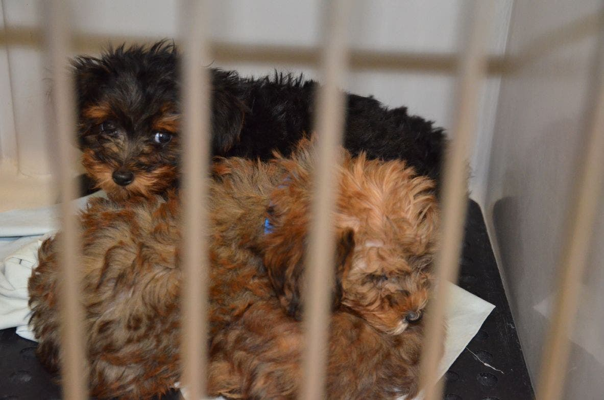 Several N J  Pet Stores Buying From Inhumane Puppy Mills, Scathing