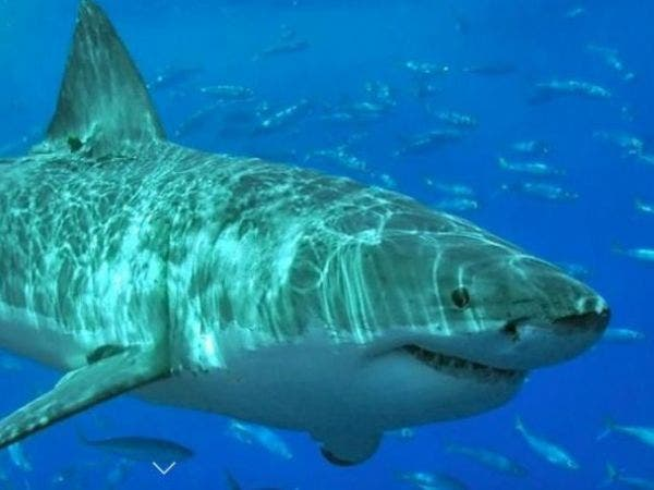 Great White Shark Nursery Found in Waters Off Montauk