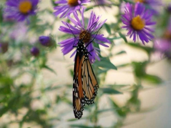Butterflies Galore: Millions Of Monarchs Expected In New York